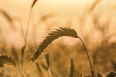 Одна пшеница в поле золота Стоковое фото RF