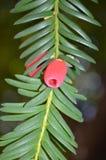 Одна хворостина европейского Yew Стоковое Изображение