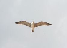 Одна чайка в небе Стоковые Фотографии RF
