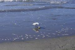 Одна чайка моря и яблоко по побережью Стоковая Фотография RF