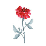 Одна элегантная большая красная роза с серым цветом выходит на белую предпосылку акварель Стоковое Фото