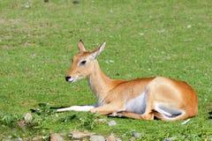 Одна южная антилопа Lechwe отдыхая - взгляд со стороны стоковая фотография rf