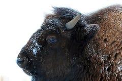 Одногодка буйвола бизона в зиме в долине Lamar Йеллоустона Стоковое Изображение RF