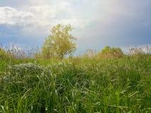 Одно дерево, зеленый тростник и бурное облачное небо Стоковое фото RF