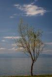 Одно дерево на береге озера Ohrid Стоковые Изображения