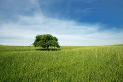 Одно дерево Стоковая Фотография RF