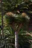 Одно дерево draco Dracaena Острова Canaries символа Стоковое фото RF