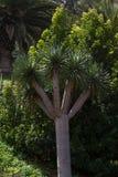 Одно дерево draco Dracaena Острова Canaries символа Стоковое Изображение RF