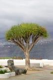 Одно дерево draco Dracaena Острова Canaries символа Стоковые Изображения RF
