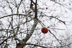 Одно замороженное Яблоко на ветви дерева без листьев Стоковые Фото