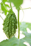 Одно зеленые momordica или karela растя на ветви Стоковые Изображения RF