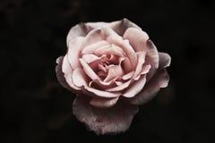 Одно изолированное розовое подняло Стоковое фото RF
