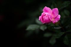 Одно красивое подняло с каплей росы Стоковое Фото