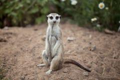 Одно милое маленькое meerkat сидит Стоковые Изображения RF