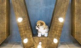 Одно милое puppi в студии Стоковые Изображения