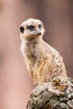 Одно meerkat сидит на древесине Стоковое фото RF