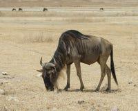 Одно sideview крупного плана антилопы гну пася в кратере Ngorongoro Стоковые Фотографии RF