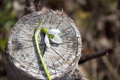 Одно Snowdrop на пне дерева Стоковые Фотографии RF