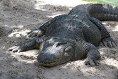 Одн-наблюданный аллигатор стоковые фотографии rf