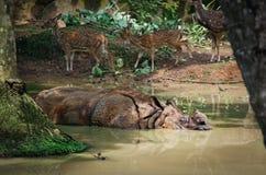 Одн-horned носорог, unicornis носорога Стоковые Изображения