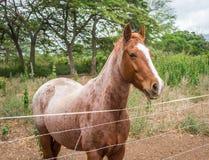 Одомашниванная коричневая лошадь на ферме Стоковые Фотографии RF