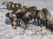 одомашниванные северные олени Стоковое Фото
