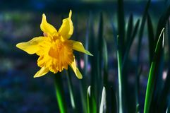одолженная лилия Стоковое Изображение RF