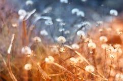 Одуванчики весной и цвета Стоковая Фотография RF