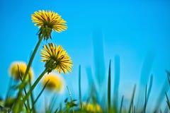 Одуванчики весны Стоковые Фото
