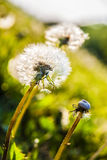 Одуванчики в солнце Стоковые Фото