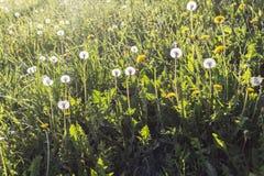 Одуванчики затопленные с солнечным светом Стоковое фото RF