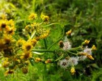 Одуванчики и желтые цветки в теплом свете Стоковое Изображение