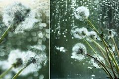 Одуванчики и дождь Тоскливость, уныние, Стоковые Фото
