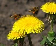 Одуванчики и пчелы стоковая фотография
