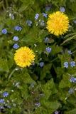 Одуванчики и цветки speedwell против зеленых цветов Стоковые Изображения