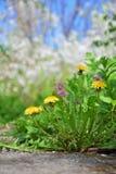 Одуванчики Конец-вверх Прогулка весны в свежем воздухе Стоковое фото RF