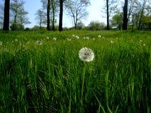 Одуванчики растут в зеленой траве среди деревьев Стоковые Фотографии RF