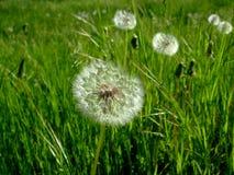 Одуванчики растут в зеленой траве среди glade Стоковое Изображение RF