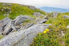 Одуванчики среди утесов на горном склоне Стоковые Изображения