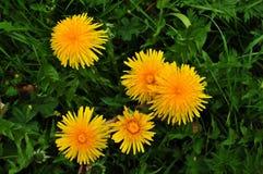 5 одуванчиков на траве Стоковое Изображение RF