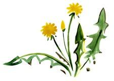 Одуванчик акварели цветет картина впечатления иллюстрация штока