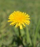 Одуванчик весной Стоковое Фото