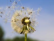 Одуванчик в ветре Стоковое Изображение RF