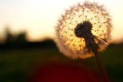 Одуванчик в вечере солнечного света последнем Стоковые Изображения