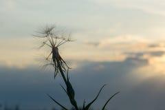Одуванчик в заходе солнца Стоковые Фотографии RF