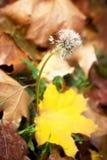 Одуванчик в осени Стоковое Фото