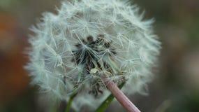 Одуванчик в поле, дуновение и делает желание Стоковое Изображение
