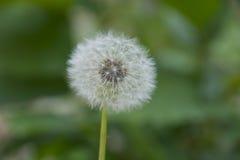 Одуванчик в поле Стоковое Фото