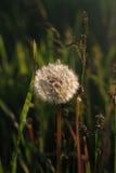 Одуванчик в солнечном свете Стоковое Фото