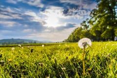 Одуванчик в солнце Стоковая Фотография RF